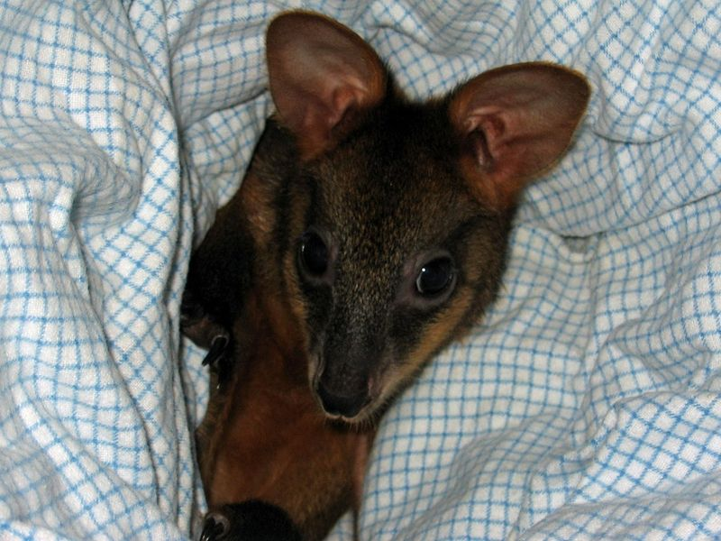 Orphaned red necked wallaby