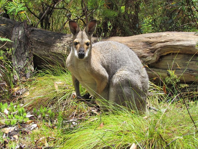 Adult red necked wallaby